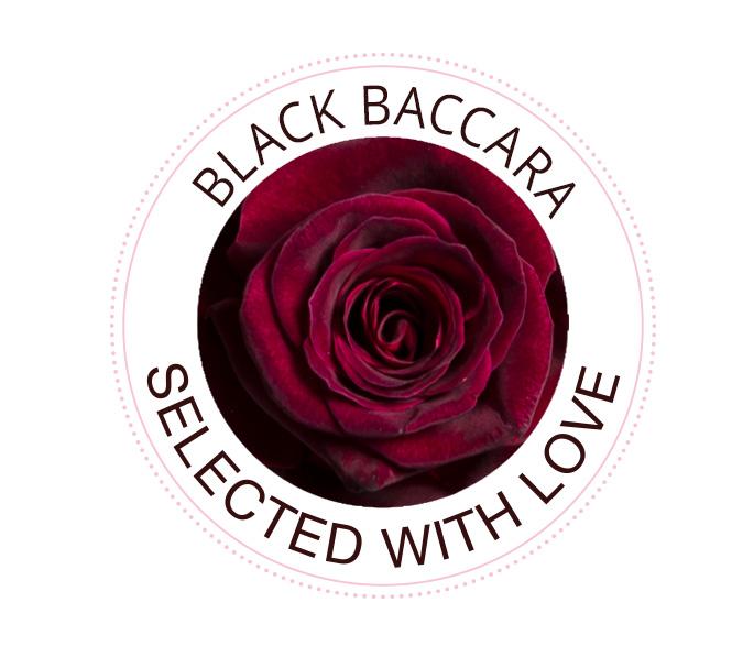 Black Baccara Rosen