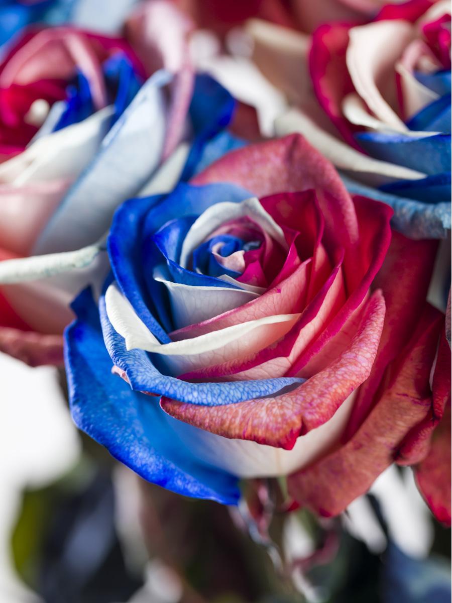 Rood-wit-blauwe roos
