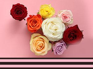 Bunte Rosen - 7 Farben