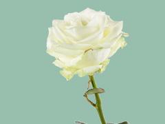 Eine Rose bestellen