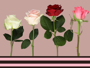 Rosen und Heuschnupfen
