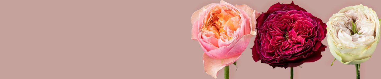 Freilandrosen / Englische Rosen