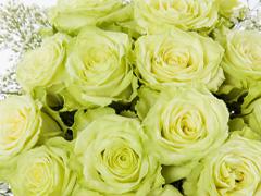Grüne Rosen verschenken