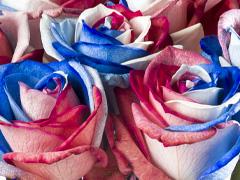 Rosen aus Holland