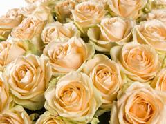 Lachsfarbene Rosen für jeden Anlass