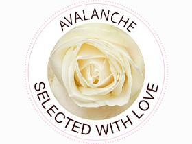 Unsere Rosensorte: White Avalanche