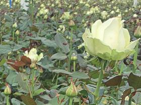 Züchter van der Berg Roses